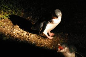 Fairy Penguins (photo from www.tripadvisor.com.au)