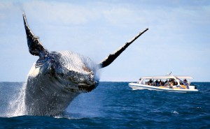 Image from http://www.whalewatchingsydney.net/