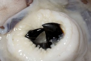 squid beak inside the body Image from http://scienceblogs.com/