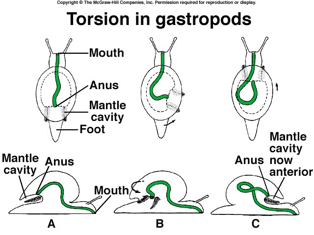 Gastropod Torsion