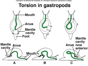 gastropod torsion Image from www.biog1105-1106.org