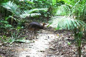 cassowary chick going after cassowary plums