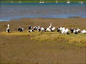 pod of pelicans