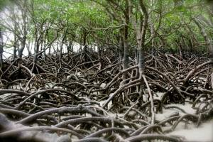 mangroves and pneumatophores