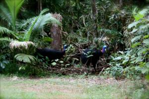 male and female cassowary