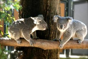 Two koalas meet on a branch... now what?