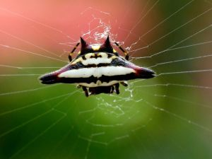 spiny orb-weaver spider (Gasteracantha geminata)