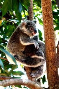 young koalas